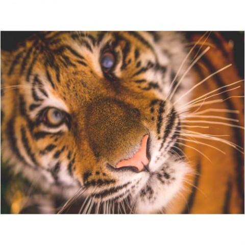 Quadro-Tigre